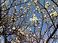 Prunus Armeniaca tree.jpg