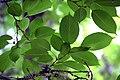 Prunus avium in Eastwoodhill Arboretum (2).jpg