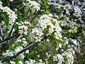 Prunus mahaleb2.jpg