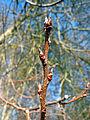 Prunus padus buds.jpg