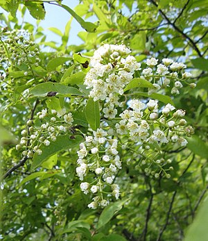 Prunus virginiana - Prunus virginiana var. virginiana (eastern gut cherry) in bloom