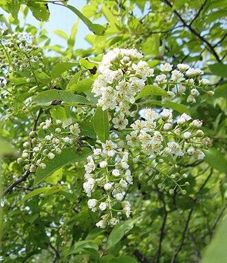 Prunus virginiana - Prunus virginiana var. virginiana (eastern gut cherry) in bloom