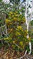 Psittacanthus robustus Mart. (6806545627).jpg