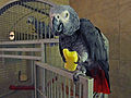 Psittacus erithacus erithacus -pet eating apple-8a.jpg