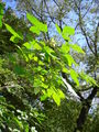 Ptelea trifoliata 20050808 010.jpg