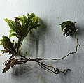 Pterogonium gracile.jpg