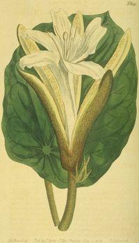 Pterospermum acerifolium (1803).jpg