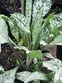 Pulmonaria Diana Clare - Flickr - peganum (2).jpg