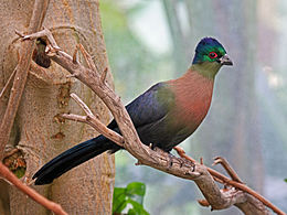 Purple-crested Turaco RWD3.jpg