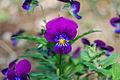 PurplePansie.JPG