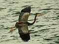 Purple Heron In Flight.jpg