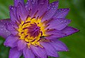 Purple water lily with fly 02.jpg