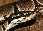 Python-regius-kopf-königspython.jpg