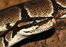 An up-close photograph of a royal python which is a messenger of Ala