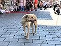 Qeni në Qarshinë e gjatë.jpg