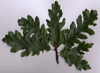 Quercus cerris - Turkey oak foliage