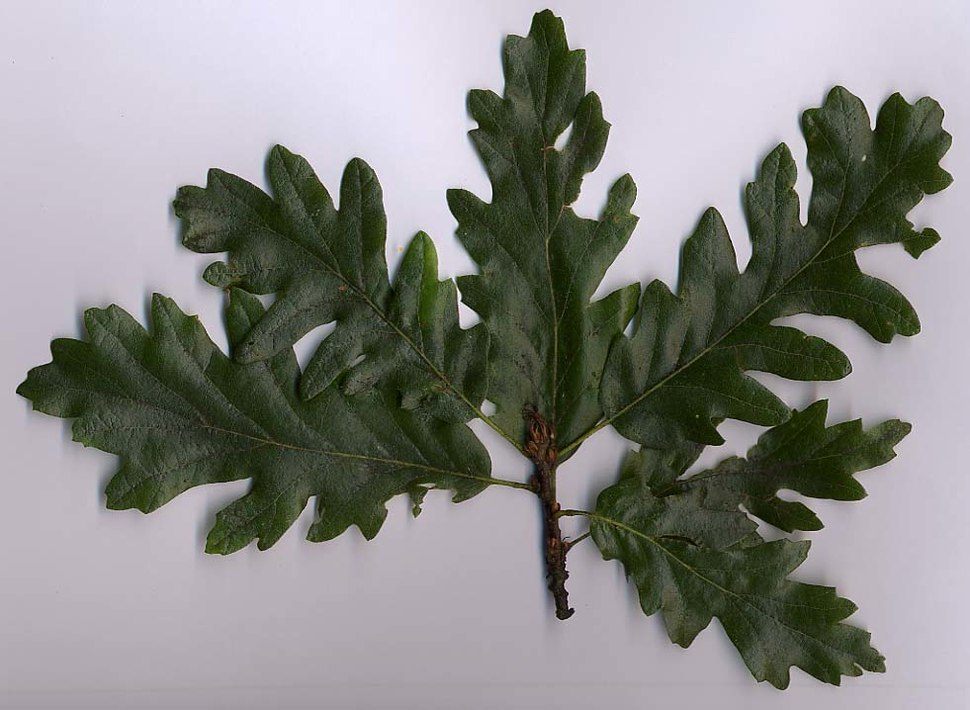 Quercus cerris folliage