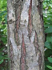 Quercus dentata3.jpg