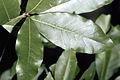 Quercus imbricaria NRCS-1.jpg
