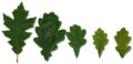 Quercus leaves.png