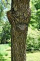 Quercus prinoides - Arnold Arboretum - DSC06950.JPG