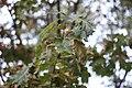 Quercus rubra (5).jpg