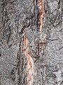 Quercus rubra 2017-09-03 3780.jpg