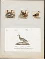 Querquedula circia - 1700-1880 - Print - Iconographia Zoologica - Special Collections University of Amsterdam - UBA01 IZ17600413.tif