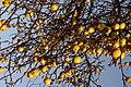 Quince Tree Winter.jpg