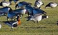 Rödhalsad Gås Red-breasted Goose (20162962010).jpg