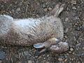 Rabbit with Myomatosis.jpg