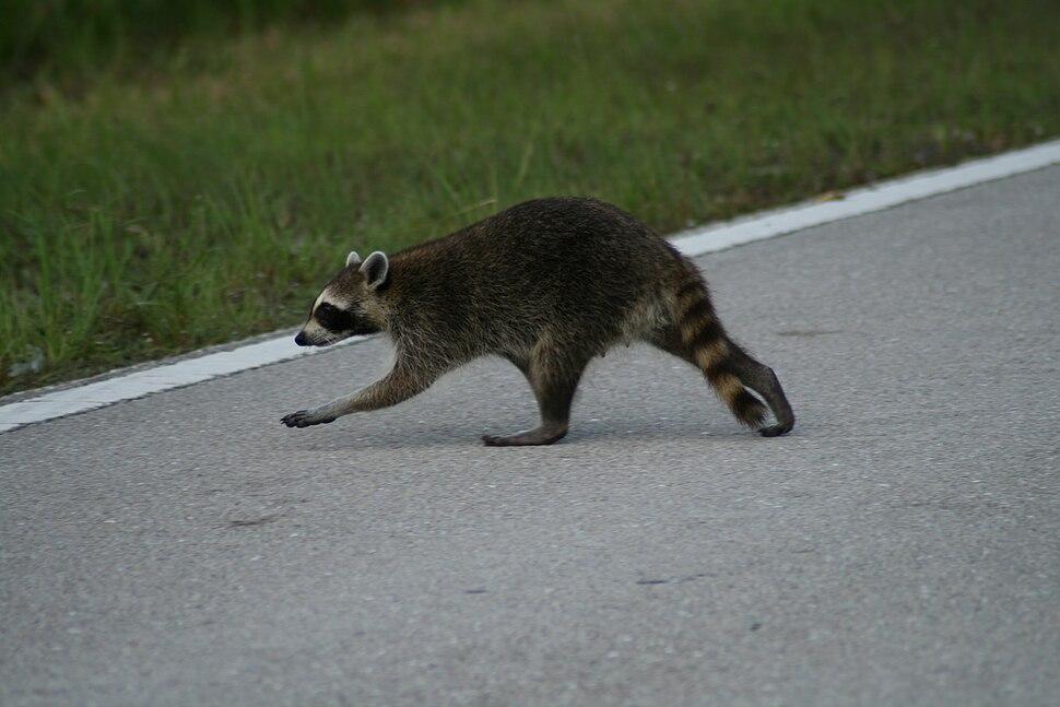 Racoon crossing road
