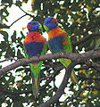 Rainbow Lorikeets Perth.jpg