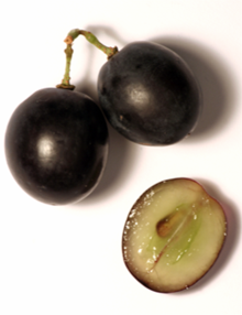 Colour photograph of three grains of black grapes. Two are tied together with a residue of the stalk, the third has been cut in half to show that the berry of the black grape with white juice has a colourless pulp.