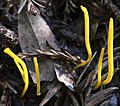 Ramariopsis laeticolor (Berk. & M.A. Curtis) R.H. Petersen 304455.jpg