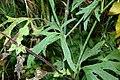 Ranunculus acris (8016835440).jpg