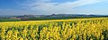 Rape Fields - panoramio.jpg