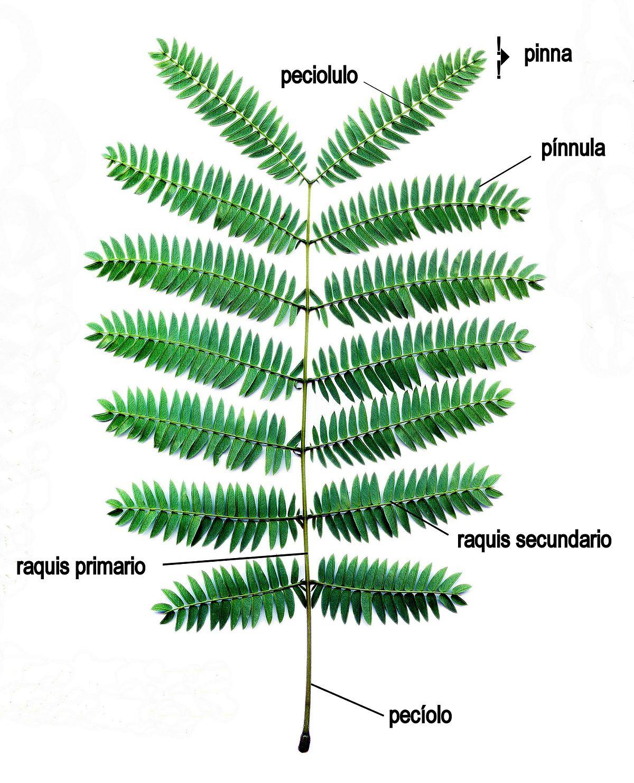 Raquis - Wikipedia, la enciclopedia libre