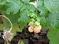 Raspberry Plant.jpg