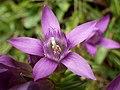 Rauer Enzian (Gentianella aspera).jpg