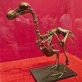 Reconstruction of The Skeleton of a Dodo (Raphus Cucullatus).jpg