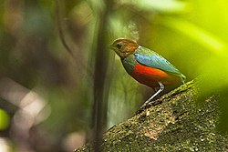 Red-bellied Pitta - Luzon - Philippines H8O8963 (16302644044).jpg