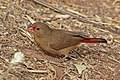 Red-billed firefinch (Lagonosticta senegala senegala) female.jpg