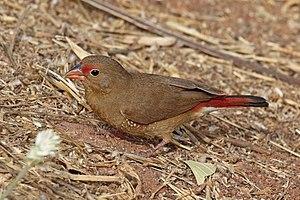 Red-billed firefinch - female L. s. senegala both Gambia