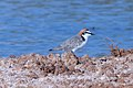 Red-capped Plover (Charadrius ruficapillus) (8079587252).jpg