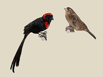 Red-collared widowbird - Pair of specimens in the Nairobi National Museum
