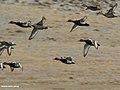 Red-crested Pochard (Netta rufina) (37540955360).jpg
