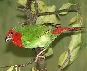Red Throated Parrot Finch