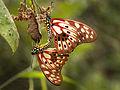 Red-veined Swallowtail (Graphium cyrnus), Ranomafana National Park, Madagascar (11633075016).jpg