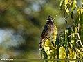 Red-vented Bulbul (Pycnonotus cafer) (27859656029).jpg